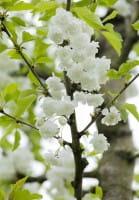Gefüllte Vogelkirsche • Prunus avium Plena