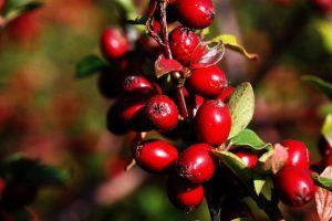 Graue Strauchmispel • Cotoneaster dielsianus