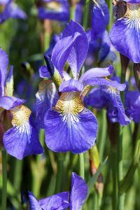 Sibirische Schwertlilie • Iris sibirica