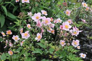 Filzige Garten Herbst Anemone • Anemone tomentosa Robustissima