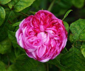 Rose Jacques Cartier • Rosa Jacques Cartier