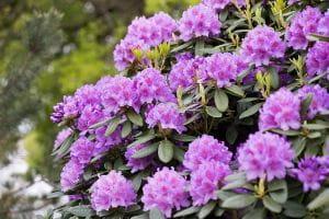 Rhododendron Catawabiense Grandiflorum • Rhododendron Hybride Catawabiense Grandiflorum