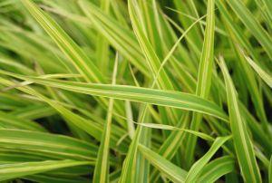 Garten-Ziergras Albostriata • Hakonechloa macra Albostriata