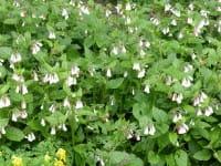 Kaukasus-Beinwell • Symphytum grandiflorum