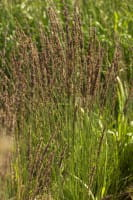 Garten-Pfeifengras Moorhexe • Molinia caerulea Moorhexe
