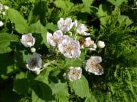 Wilde Brombeere • Rubus fruticosus