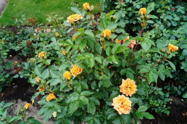 Zwergrose Clementine • Rosa Clementine