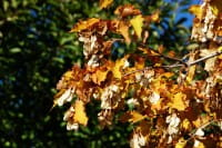 Feuerahorn • Acer ginnala