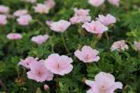 Gestreifter Storchschnabel • Geranium sanguineum var. Striatum