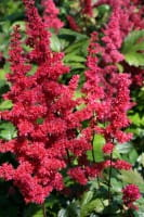 Garten Prachtspiere Fanal • Astilbe x arendsii Fanal