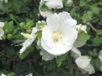 Garteneibisch William R. Smith • Hibiscus William R. Smith
