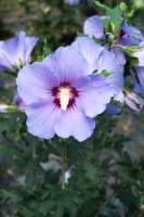 Rosen-Eibisch Blue Bird • Hibiscus syriacus Blue Bird