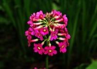 Garten-Etagen-Schlüsselblume Millers Crimson • Primula japonica