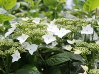 Tellerhortensie Lanarth White • Hydrangea macrophylla Lanarth White
