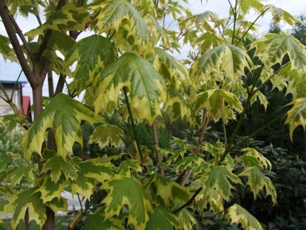 Spitzahorn Drummondii • Acer platanoides Drummondii