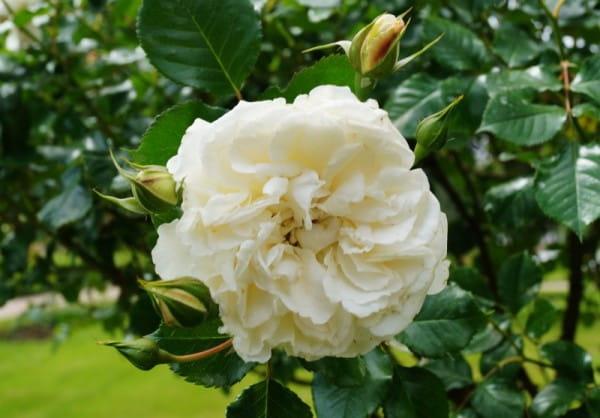 Rose Petticoat ® • Rosa Petticoat ®