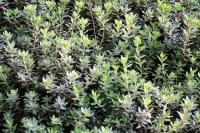 lavendelblauer kleinblättriger Rhododendron • Rhododendron impeditum Ramapo
