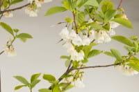 Schneeglöckchenbaum • Halesia carolina