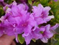 Japanische Azalee Otava • Rhododendron obtusum Otava