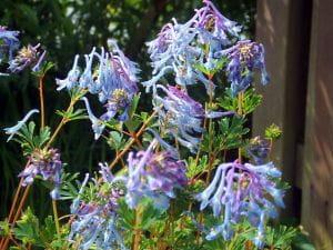 Blauer Lerchensporn • Corydalis elata Spinners