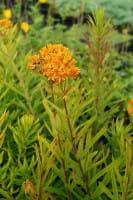 Knollige Seidenpflanze • Asclepias tuberosa