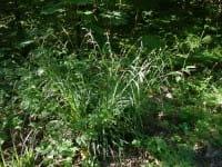 Wald-Segge • Carex sylvatica