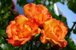 Rose Bonanza ® • Rosa Bonanza ®