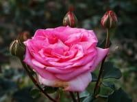 Rose Beverly ® • Rosa Beverly ®