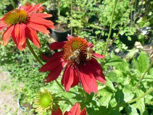Scheinsonnenhut Sundown -R- • Echinacea purpurea Sundown -R-