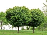Kugelahorn • Acer platanoides Globosum