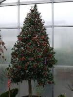 Pyramiden-Stechpalme • Ilex aquifolium Pyramidalis