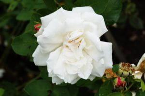 Edelrose 'Frau Karl Druschki' • Rosa 'Frau Karl Druschki'