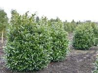 Aufrechter Kirschlorbeer • Prunus laurocerasus Herbergii