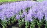 Blauraute, Silberbusch • Perovskia abrotanoides