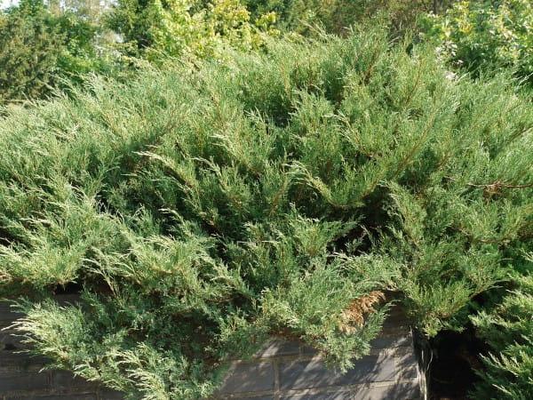 Tamarisken Wacholder • Juniperus sabina Tamariscifolia
