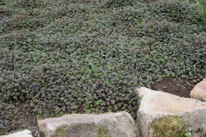 Garten Stachelnüsschen Kupferteppich - Acaena microphylla Kupferteppich