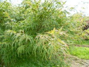 Fächerahorn Seiryu • Acer palmatum Seiryu