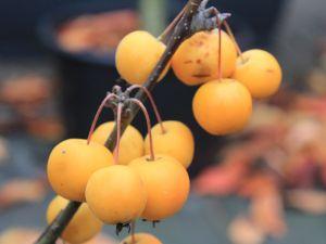 Zierapfel Golden Hornet • Malus Golden Hornet