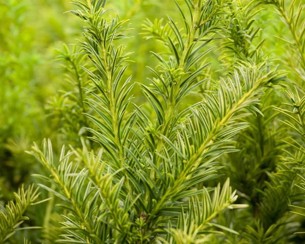 Gold-Eibe • Taxus baccata Semperaurea