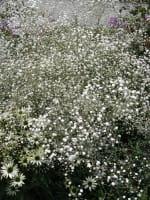 Garten-Schleierkraut Bristol Fairy • Gypsophila paniculata Bristol Fairy