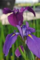 Sumpf-Schwertlilie • Iris ensata