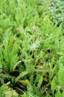 Hohe Garten Gold Garbe • Achillea filipendulina Feuerland