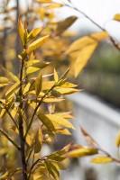 Felsenbirne Robin Hill • Amelanchier arborea Robin Hill