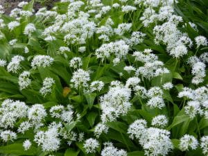Bärlauch • Allium ursinum