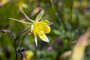Langspornige Garten Akelei • Aquilegia caerulea Maxistar