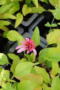 Scheinsonnenhut Pink Double Delight • Echinacea purpurea Pink Double Delight