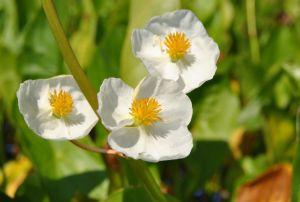 Veränderliches Pfeilkraut • Sagittaria latifolia