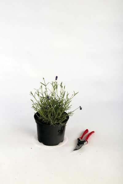 Echter Lavendel • Lavandula angustifolia