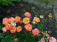 Rose Little Sunset ® • Rosa Little Sunset ®