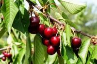 Süßkirsche Hedelfinger Riesenkirsche • Prunus avium Hedelfinger Riesenkirsche